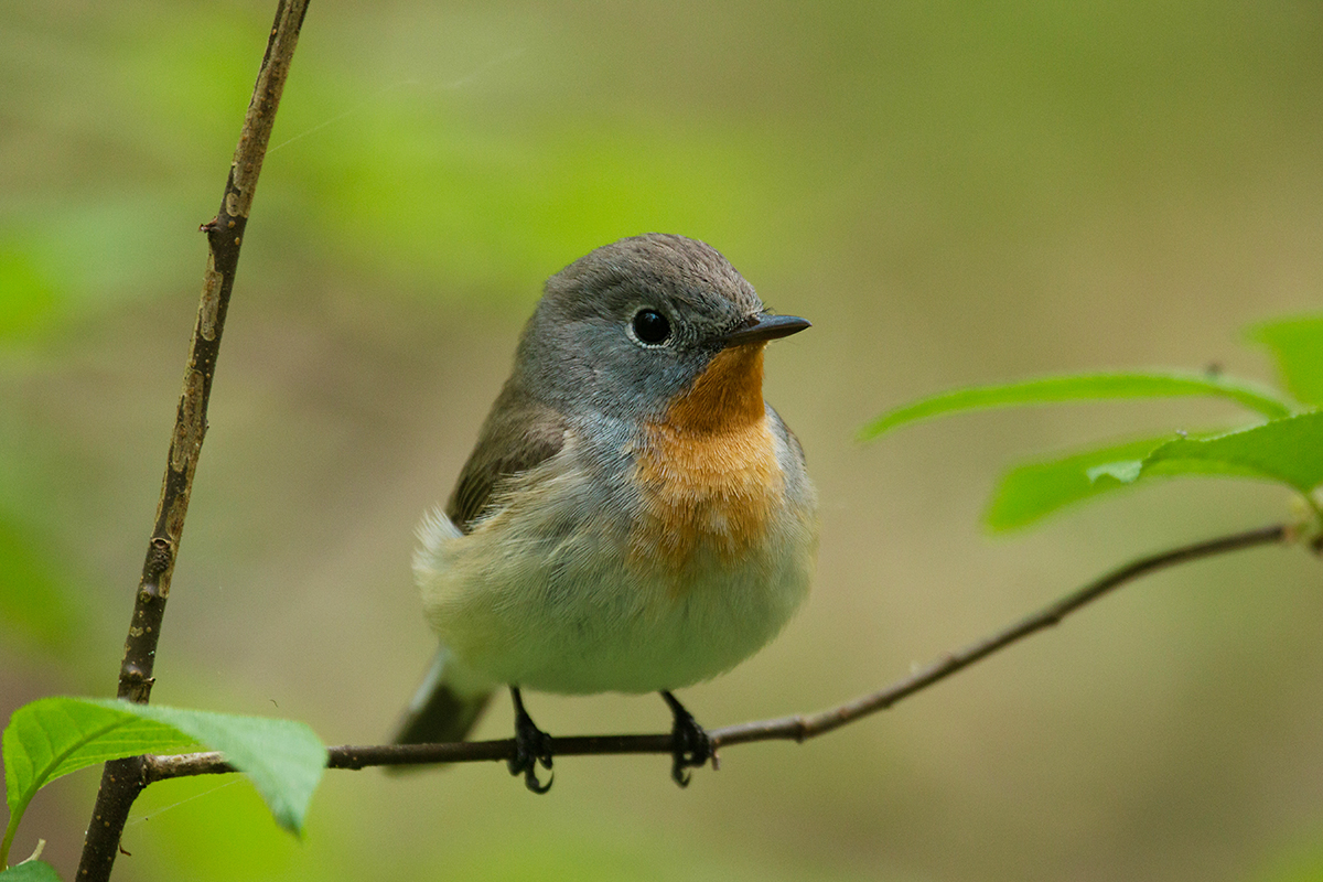 Adorable Red-breasted flycatcher