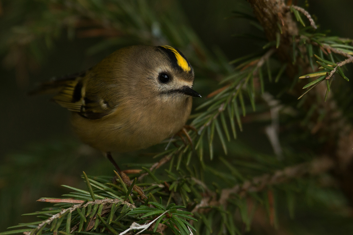 Goldcrest with yellow crest