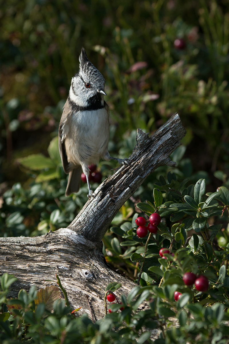 Crested tit and cowberries