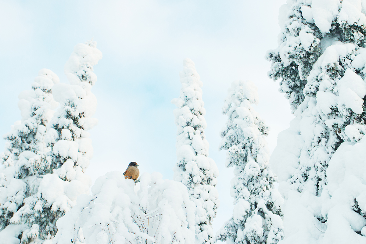 Siberian jay in a snowy world