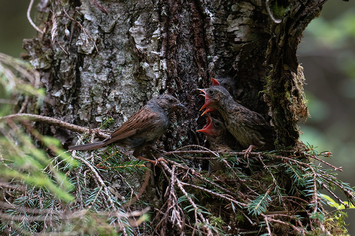 Hungry Dunnock chicks