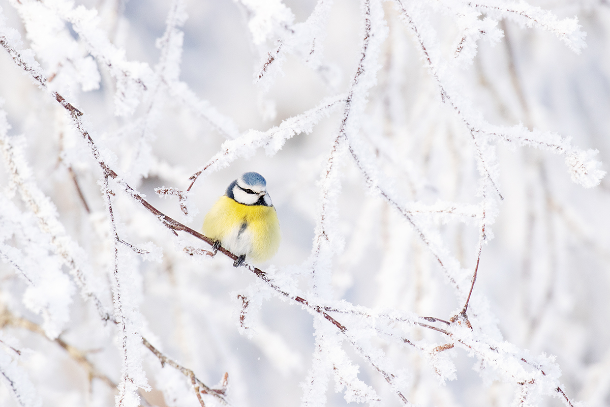 Blue tit in a frosty world
