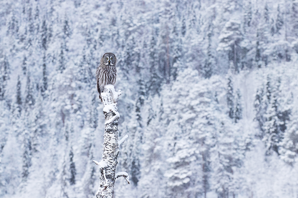 Ruler of taiga forests