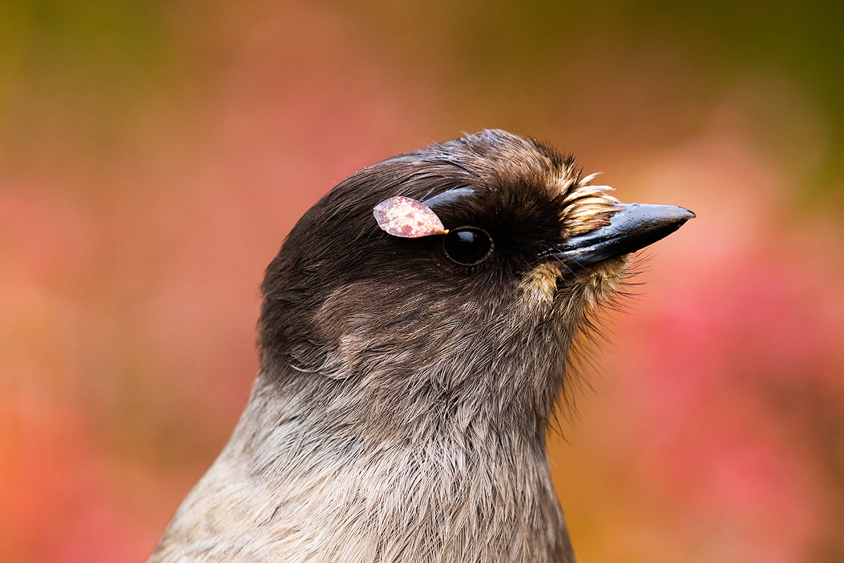 Portrait of a Siberian jay