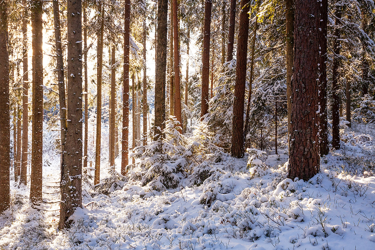 Wintery coniferous forest